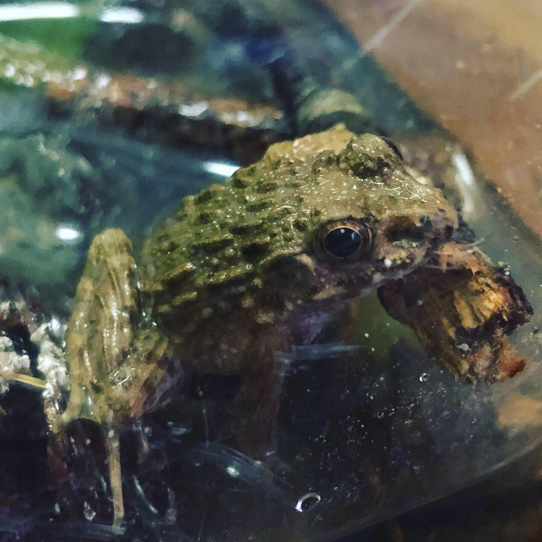 飼育 ツチガエル
